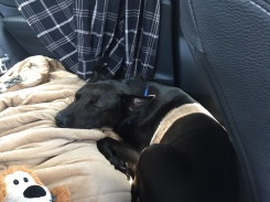 6/13/17 - on the road again and Loki is fast asleep in the back seat