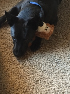9/17/17 - Loki cuddling with his bear at the Tahoe rental.